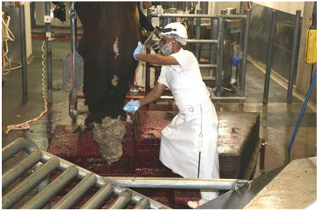 Cow being slaughtered
